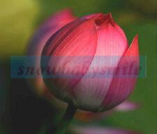 10 Minium Lotus Seeds Water Lily Pad Nymphaea Nelumbo Nucifera 60kind choose