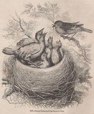 Antique 1845 Print Cuckoo BIRD Hedge Sparrow nid British campagne regarder