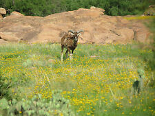 SHEEP HUNT for Mouflon Ram in Mason County at The Wildlife Ranch for Exotic Rams