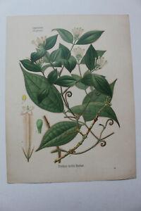 Plantes médicinales KOEHLER 1887 BOTANIQUE - Strychnos toxifera