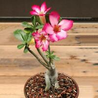 50 Seeds Desert Rose Adenium Obesum Bonsai Mixed Colors Bonsai Super W9F4