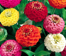 ZINNIA LILIPUT MIXED COLORS Zinnia Elegans - 1,100 Bulk Seeds