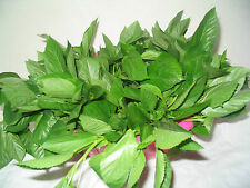 Vegetable Seed EGYPTIAN SPINACH - Mitha Paat - Corchorus olitorius - 100 Seeds