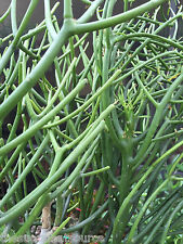 bleistift kaktus pflanze | milch bush | euphorbia tirucalli | 10 sukkulente ableger