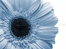 POWDER LIGHT BLUE GERBERA FLOWER PHOTO ART PRINT POSTER PICTURE BMP312A