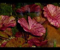 Red Tiger Lotus X3 - Live Aquarium Plant  Bulb Only Beginner Plant