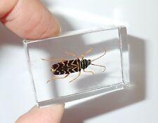 Golden Stripe Beetle Education Insect Specimen
