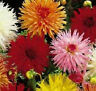 50 Seeds Dahlia Cactus Mix  Flower Seeds Dahlia Seeds