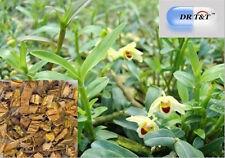 DR T&T Herbes Séchées SHI HU (Herba Dendrobii) 100g