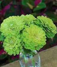 30+  Zinnia Lime Green Envy / Flower Seeds / Annual