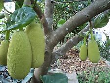 "World largest tree fruit-sri-lankais"" 18 mois ""jacquier fresh 5 finest seeds."
