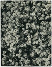 Laure ALBIN GUILLOT: Jasmine Bush, 1930s / VINTAGE Fresson print / CREDITED
