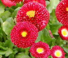 DAISY ENGLISH RED - 500 seeds - Bellis Perennis Super Enorma Red - PERENNIAL