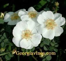 Rosa rugosa White Saltspray 20 seeds