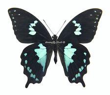 Unmounted Butterfly/Papilionidae - Papilio epiphorbas, male, Madagascar, A-