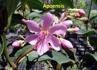 "MEDINILLA - APOENSIS  - CHANDELIER TREE -  LIVE PLANT - 4"" POT - 1 PLANT"