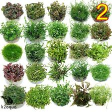 Live Aquarium Plants IN VITRO 2 Aquatic Tropical Fish Aquascaping Carpet InVitro