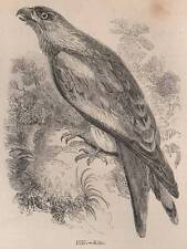 ANTIQUE C1845 PRINT RED KITE HAWK HAWKING FALCONRY LURE BIRD PREY GLOVE FIELD
