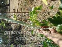 🔥 Meter-Bohne WEISS GRÜN 10 Samen Bohnen Sorte 1 Meter lang fadenlos
