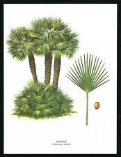 1960 Mediterranean Dwarf Palm Tree, Chamaerops humilis, Vintage Botanical Print
