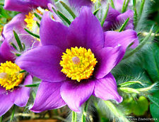 PASQUE FLOWER VIOLET - Pulsatilla vulgaris - 100 seeds - ALPINE PERENNIAL FLOWER