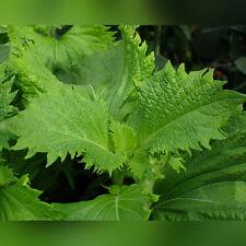 FR069 Japanese Shiso Perilla Green x200 seeds, Non-GMO