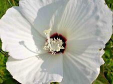25 Hairy Rose Mallow Seeds - hibiscus lasiocarpus