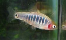 5 Dwarf Emerald Rasbora Live Freshwater Aquarium Fish