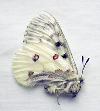 Parnassius corybas ssp.?, male, A1+ (Russia: Altai)