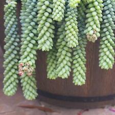25 Seeds Sedum Morganiaum Donkey Tail Succulent Cactus Plant Garden Cacti