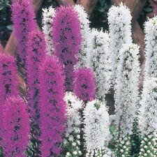 50+ LIATRIS PURPLE AND WHITE MIX / PERENNIAL FLOWER SEEDS