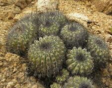 10 Copiapoa grandiflora SEMI SEEDS CACTUS KORN no orbea conophytum stapelia