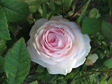 Clotilde Soupert Own Root Heirloom Old Garden Rose Plant White Pink Fragrant
