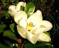 MAGNOLIA GRANDIFLORA Alveole 1 Pflanze 1 plant Südlichen magnolia bull Bucht