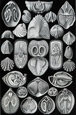 Ernst Haeckel Art Forms of Nature Anenome Crustaceans Mollusk 18x24 new