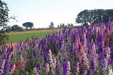 Larkspur Seeds Rocket Mix Delphinium Seeds 500 Larkspur Seeds