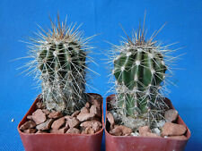 "Saguaro Cactus TWO (2!) Nice Spines Carnegiea gigantea 2""-3"" Tall AZ Seed Grown"
