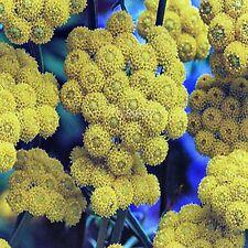 GOLDEN AGERATUM SEEDS LONAS INDORA FLOWERING SHRUB