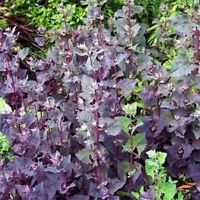 50 Seeds Savory Herb Seeds Vanilla Sweetgrass Satureia Hortensis Herbs Organic ☆