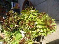 beau  lot de BOUTURES plantes façiles a vivre +plantes grasses etc...+laurier