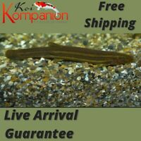 3/5/10X Dojo Loach Beginner Aquarium Koi Kompanion Free Shipping