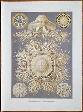 HAECKEL: Original Print Discomedusae Jellyfish Plate 28 1st. Edition - 1900