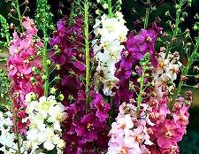 TEMPTRESS FLOWER MIX - Mullein - Verbascum phoeniceum - 1500 SEEDS OF THIS YEAR