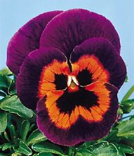 50 Pansy Seeds Joker Poker Face Pansy Seeds