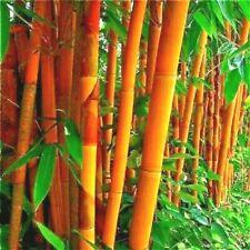 10 GOLDEN GROOVE BAMBOO SEEDS - Phyllostachys aureosulcata f. aureocaulis