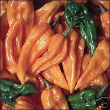 VEGETABLE  HOT CHILLI PEPPER FATALII  40 SEEDS  EXTREMELY HOT