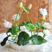 20 Graines Fleur de LOTUS Sacré BLANC Cultiver en intérieur BASSIN Toute l'Année
