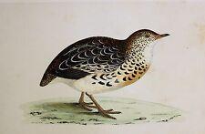 c1875 ANTIQUE PRINT ~ ANDALUSIAN QUAIL HAND COLOURED British Birds Morris