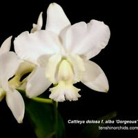 Cattleya dolosa f. alba 'Gorgeous' 3 1/4'' Pot T656