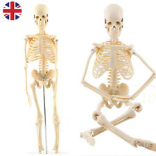Human Skeleton Anatomical Teaching Model Stand w/Base Learn Aid Medical Anatomy